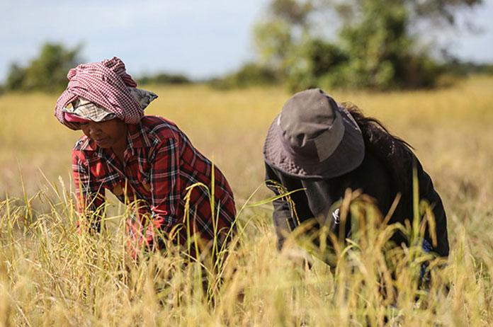 Cambodia Rice 2020
