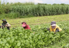 FAO-backed Agricultural Sector Survey Kicks Off