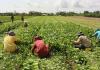 Cambodia Wants Bulk Agro Negotiation With China