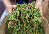 Sela Pepper Eyes New Markets In Asia And Europe