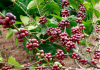 Korea To Support Coffee Production In Northeast