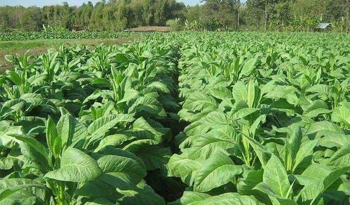 Cambodia Tobacco Exports